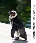 Small photo of African penguin close up