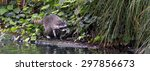 Small photo of SAN FRANCISCO - MAY 20 2015:Raccoon runs along a pond at Palace of Fine Arts in San Francisco.A raccoon can run at speeds of up to 15 miles per hour.