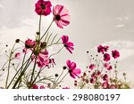 Purple  Pink  Red  Cosmos...