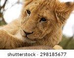 Portrait Of A White Lion Cub...