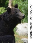 Small photo of Ussuri Brown Bear (Ursus Arctos Lasiotus) sitting and watching another bear nearby.