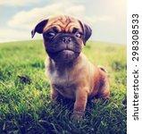 A Cute Baby Pug Chihuahua Mix...