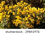 Gorse Bush In The Sunshine ...