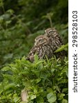 A Pair Of Little Owls Sitting...
