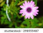Beautiful Dimorphoteca Flower