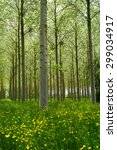 forest of poplars in the... | Shutterstock . vector #299034917
