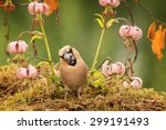 haw finch with seed in mouth... | Shutterstock . vector #299191493