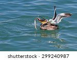 Close Up Of A Pelican Trying T...