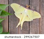 Luna Moth  Actias Luna  On A...