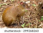 Small photo of Pink eared Agouti