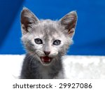 Closeup Of Crying Grey Kitten