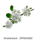 White Apple Flowers Branch...