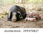 Sow Sleeping With Piglets