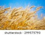 Golden  Ripe Wheat Against Blu...