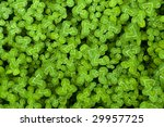 Vibrant Green Clover Patch