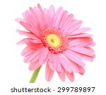 Pink Gerbera Flower  Isolated...