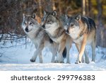 three wolves marching together | Shutterstock . vector #299796383