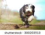 Crazy Old English Sheepdog Dog...