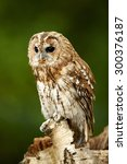 A Tawny Owl Sits On A Branch ...