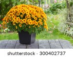 a fall potted chrysanthemum in ... | Shutterstock . vector #300402737