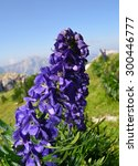 Small photo of Beautiful plant, aconitum napellus, poisonous