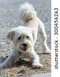 Stock photo dog ready to play 300456263