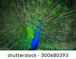 portrait of beautiful peacock... | Shutterstock . vector #300680393
