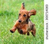 Dachshund Dog Running
