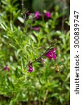 Small photo of Autumn sage (Salvia greggii)