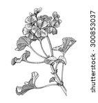 sprig of blooming geranium ... | Shutterstock .eps vector #300853037
