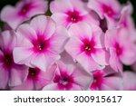 bright pink phlox close up | Shutterstock . vector #300915617
