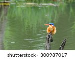 Small photo of A small kingfisher, malachite kingfisher, 13cm in length. (Alcedo cristata)