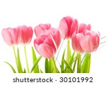 tulips isolated on white... | Shutterstock . vector #30101992