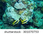 Small photo of Pair of Red Sea Bannerfish, Heniochus intermedius, swimming past a reef with good growth of the reef building coralline alga, Porolithon onkodes and a thin layer of algal turf food for many reef fish.
