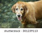golden retriever   Shutterstock . vector #301239113