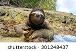 Cute Three Toed Sloth On The...