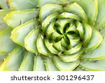 Small photo of Aloeaceae, Aloe Polyphylla, Spiral Aloe - Lesotho traditional plant