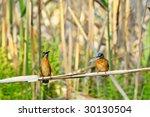 kingfishers  alcedo atthis  | Shutterstock . vector #30130504