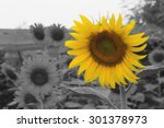 sunflower on selective color... | Shutterstock . vector #301378973