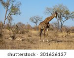 the giraffe is an african ... | Shutterstock . vector #301626137