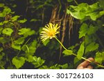 Small photo of Alpine arnica close up in Carpathians