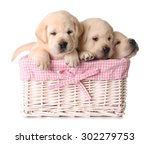 three yellow lab puppies in a... | Shutterstock . vector #302279753