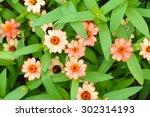 zinnia flower in garden... | Shutterstock . vector #302314193