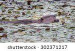 Small photo of An American Beaver in a pond at dusk eating aquatic plants.