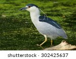 Small photo of Black-crowned Night Heron standing in shallow water waiting for a fish to come by.