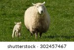 Mother Sheep And Her Lamb Look...