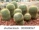 Golden Barrel Cactus In A...