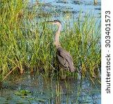 great blue heron fishing | Shutterstock . vector #303401573
