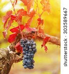 Small photo of Bunch of red grapes in colorful autumn vineyard.Shallow doff