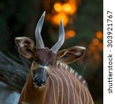 Bongo Antelope Portrait On...